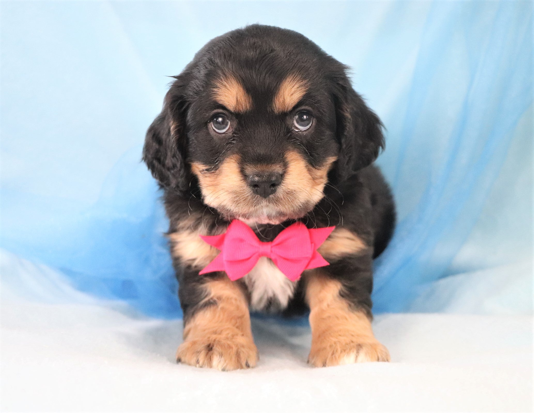 *RESERVED*Frankie Male F2 Cavachon Puppy