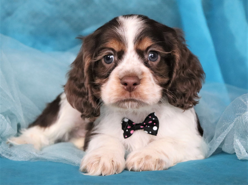 Brewster Male Miniature Cocker Spaniel Puppy