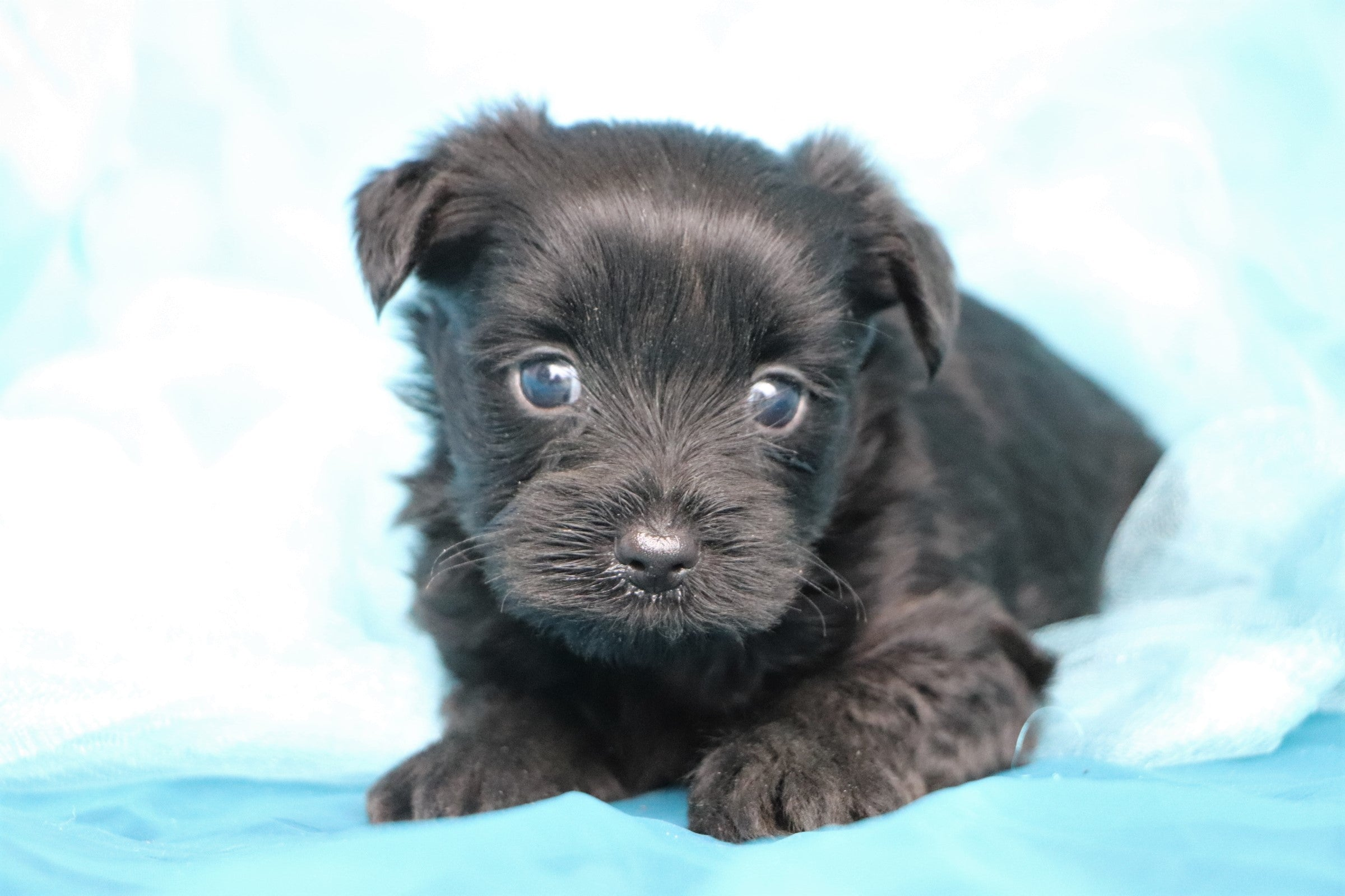 Rider Male Teacup Yorkipoo Puppy*