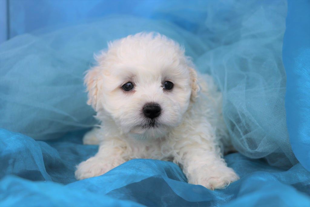 Simba Male Teacup Teddy Bear Puppy