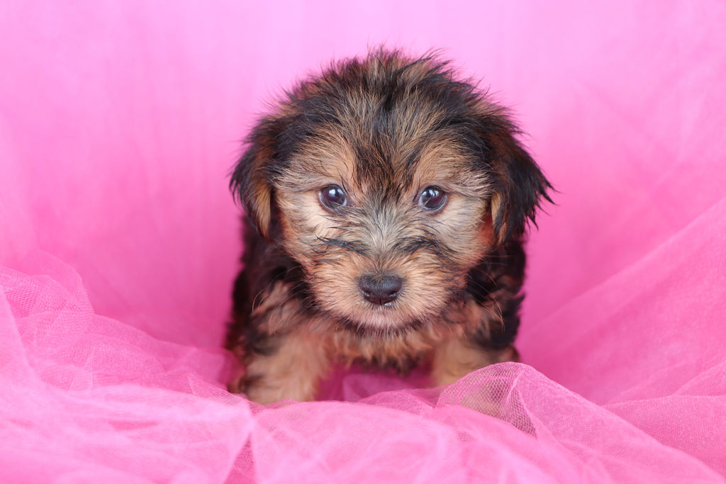 Sweet Pea Female Teacup Yorkie Puppy*