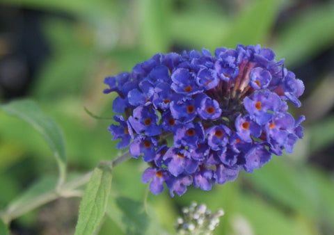 Buddleia davidii 'Black Knight' ~ Butterfly Bush