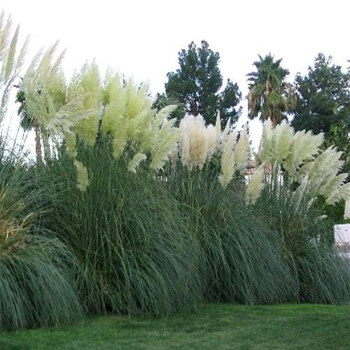 Cortaderia selloana ~ White Pampas Grass