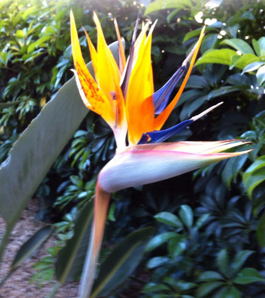Tropical Orange Bird of Paradise ~ Strelitzia Reginae