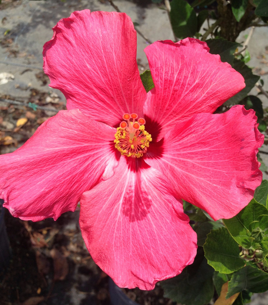Hibiscus rosa-sinensis 'Painted Lady'