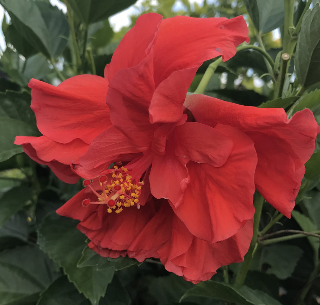 Tropical Hibiscus Rosa Sinensis Double Red Starter Plant