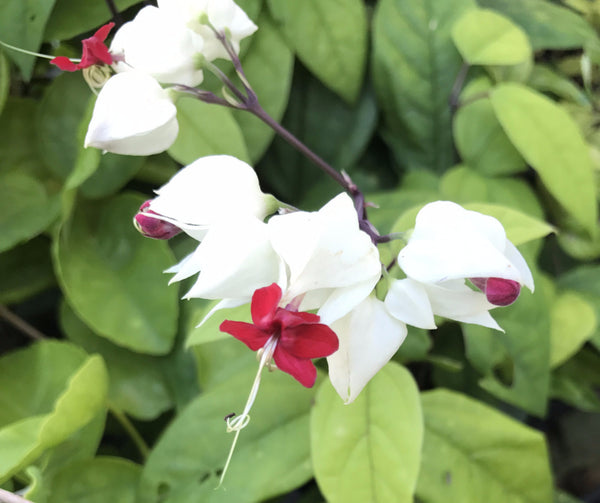 Clerodendrum Bleeding Heart Vine ~ thomsoniae