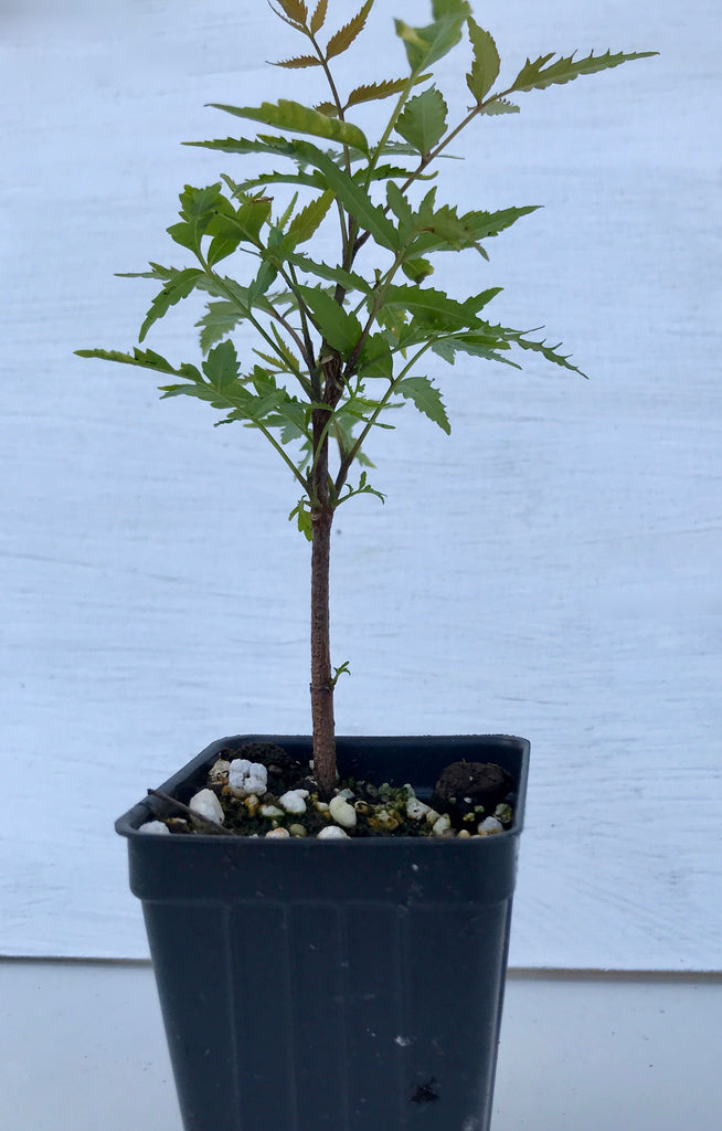 Neem Tree ~ Azadirachta indica ~ Indian lilac ~ Live Plant
