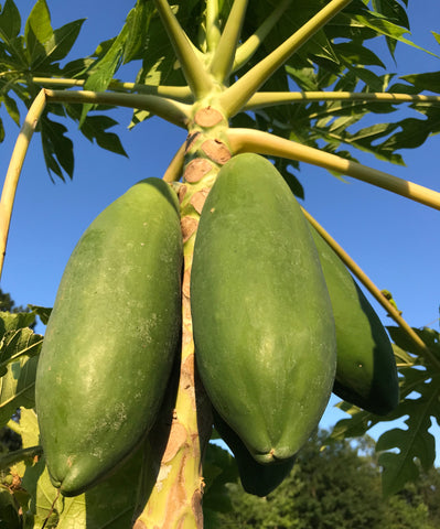 Florida Papaya Tree ~ Carica papay