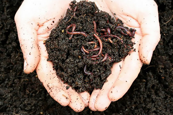 Maze Live Worms Sent Direct - 1000