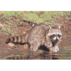 Delta Raccoon