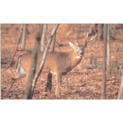 Delta Whitetail Deer 101