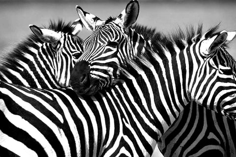 Black And White Canvas Wall Art Prints African Zebra Family Pictures