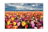 Colourful Tulip Field on Framed Canvas Wall Art Prints Floral Pictures Home Decoration Room Deco Poster Photo Artwork-Front