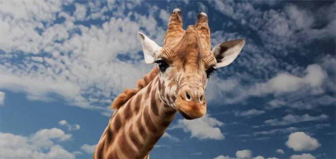 6 Things That April the Giraffe and Teachers Have In Common