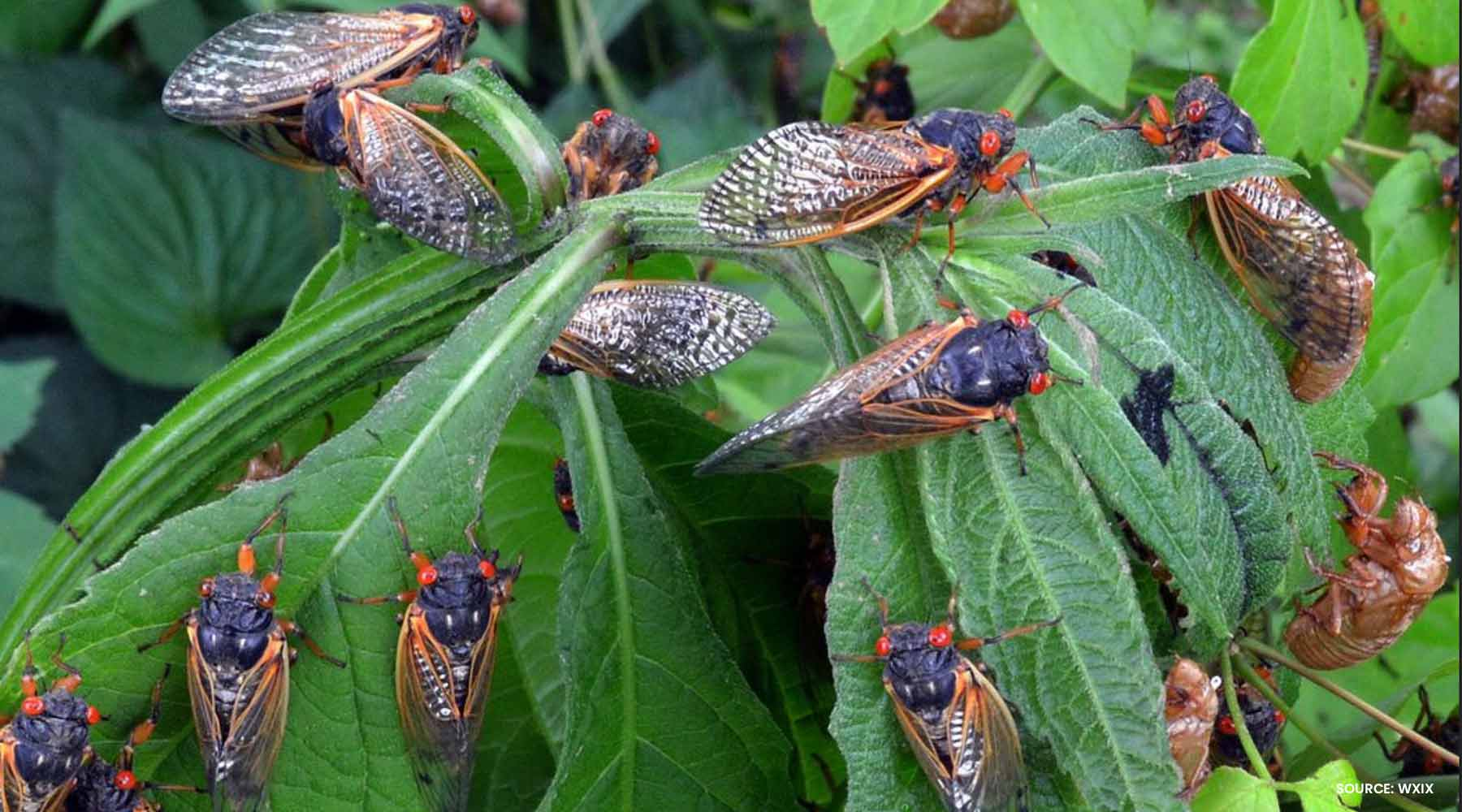 CICADA MANIA: 7 COOL FACTS