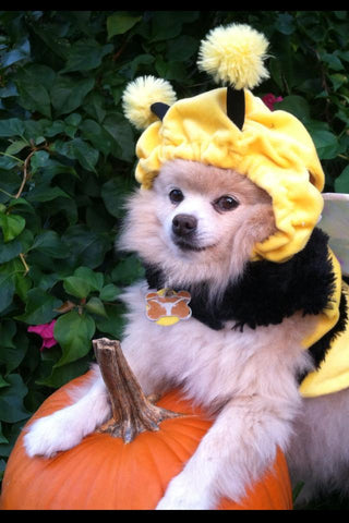 Pomeranian with bee costume on pumpkin