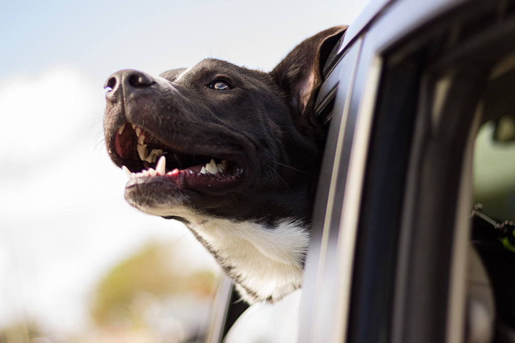 A Natural Way To Help Motion Sickness In Dogs