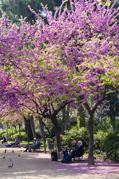 Tree blossoms in Barcelona