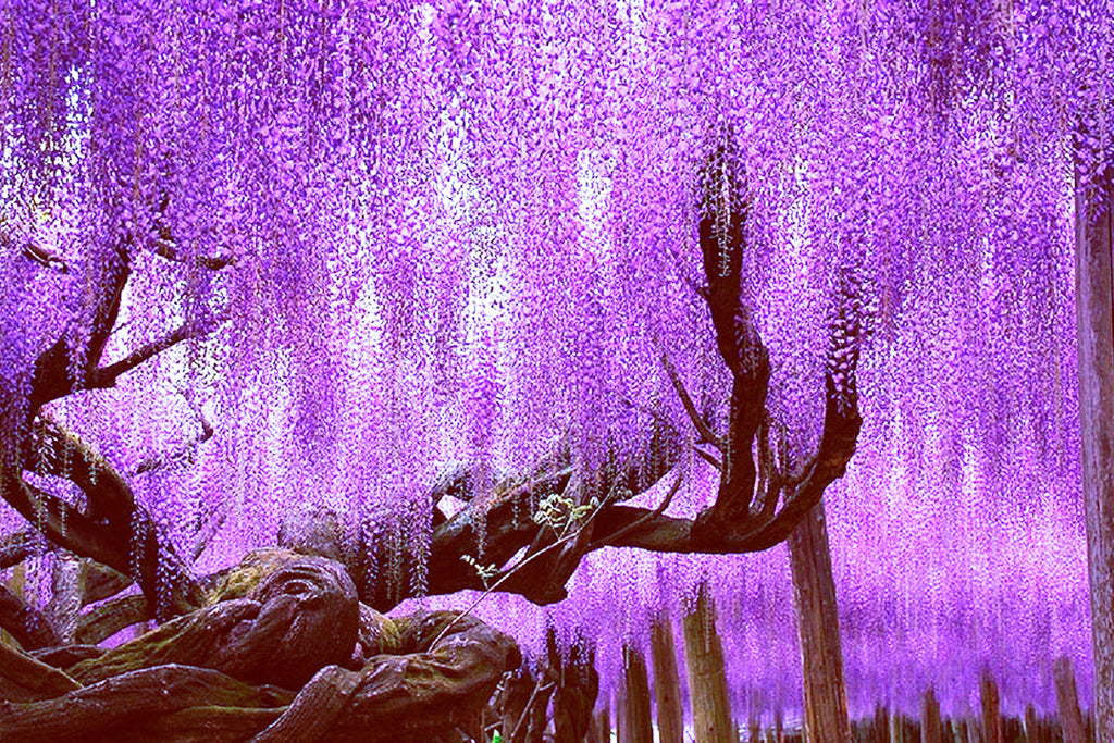 FUJI 藤 WISTERIA A STUNNING WONDER OF JAPAN Lemiché - Beautiful wisteria plant japan 144 years old