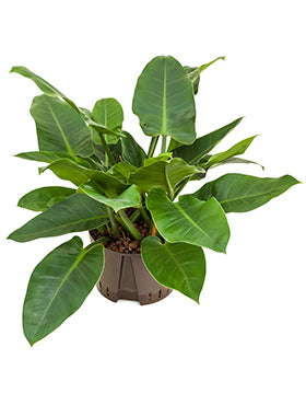 Philodendron erubescens imperial green or red