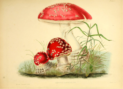 European Toadstool by Frances Reed