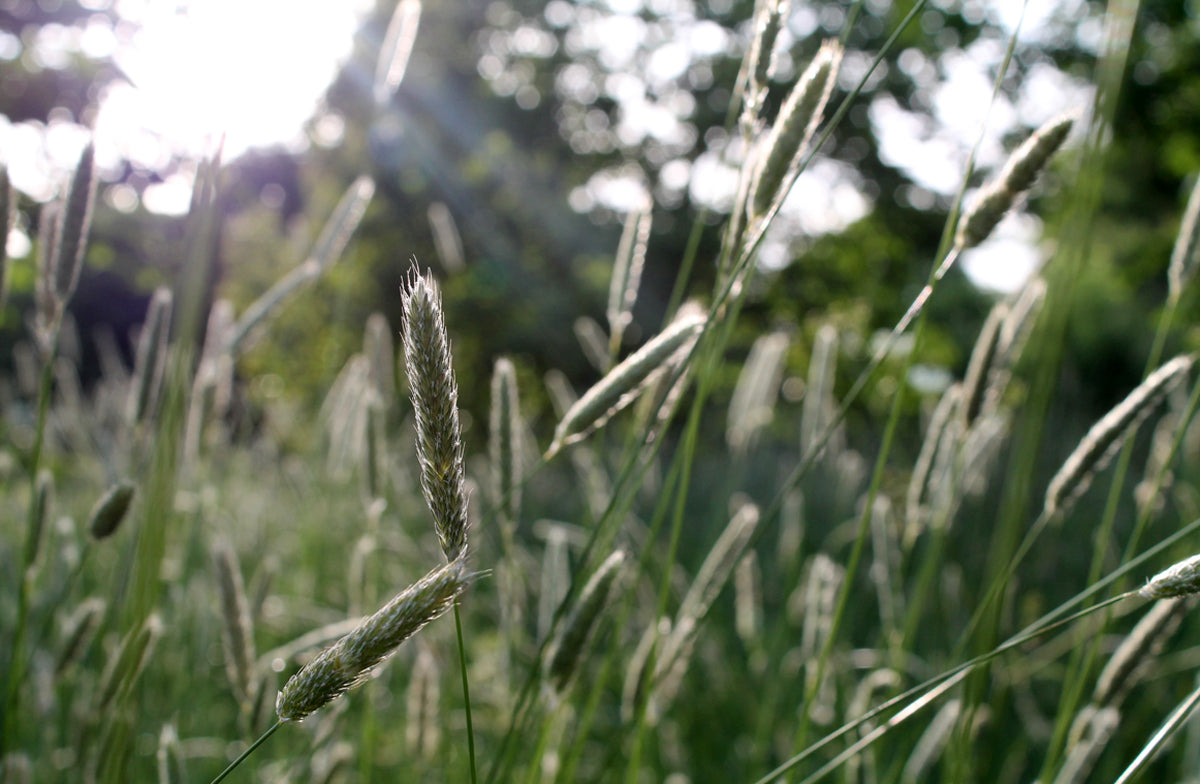 grasses in sunset