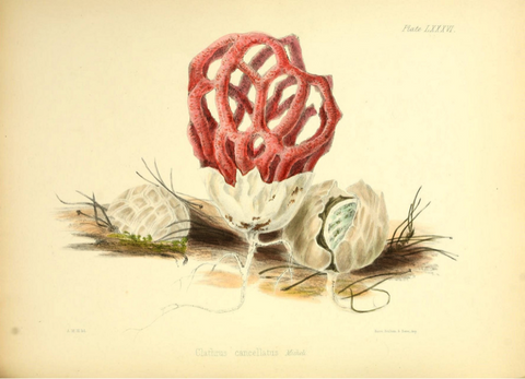 Red Cage Fungus by Anna Maria Hussey
