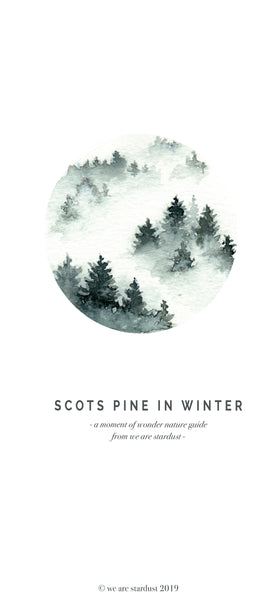 Scots pine winter nature guide