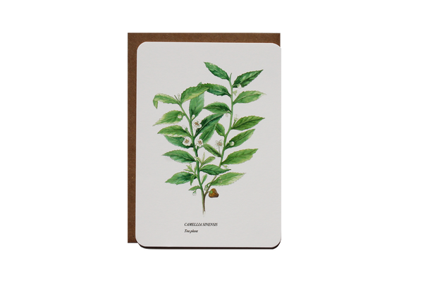 Tea plant Camellia sinensis greetings card