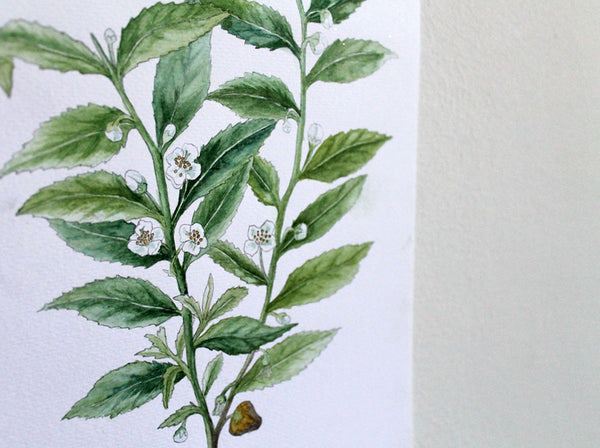Watercolour tea plant original artwork