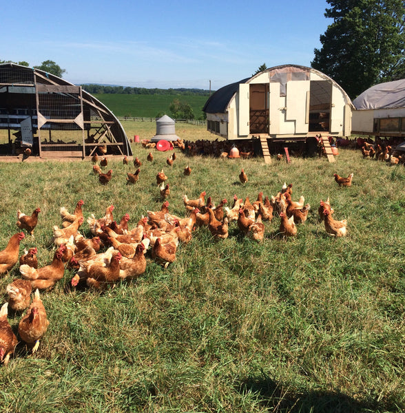 Let's Clear the Confusion: Free Range vs Pasture Raised Poultry
