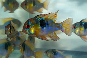 Little fish, big attitude: dwarf cichlids for the Community Aquarium by Mike Tuccinardi