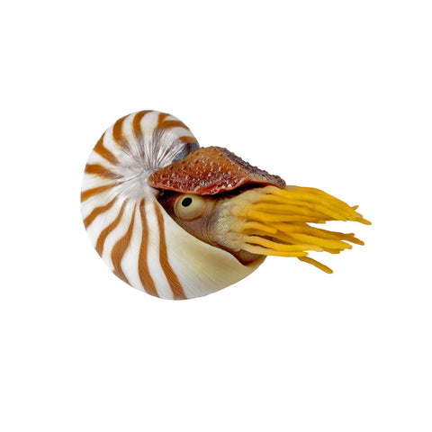 Nautilus Decor, 1pc