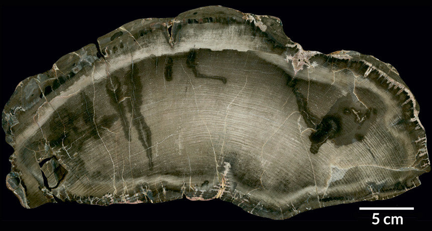 Ancient Tale of Sun's Behavior Revealed By Tree Rings