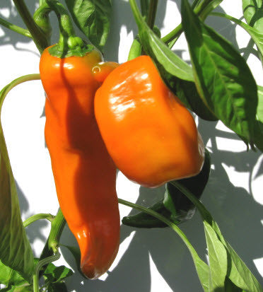 Marconi Golden Pepper