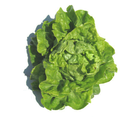 White Boston Lettuce