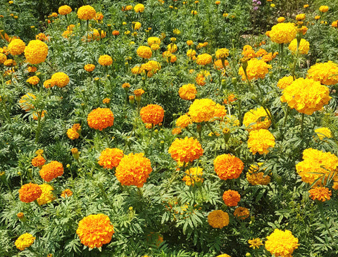 Marigold: Large Mixed