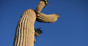 Desert Boutique | Saguaro cactus in the Sonoran Desert