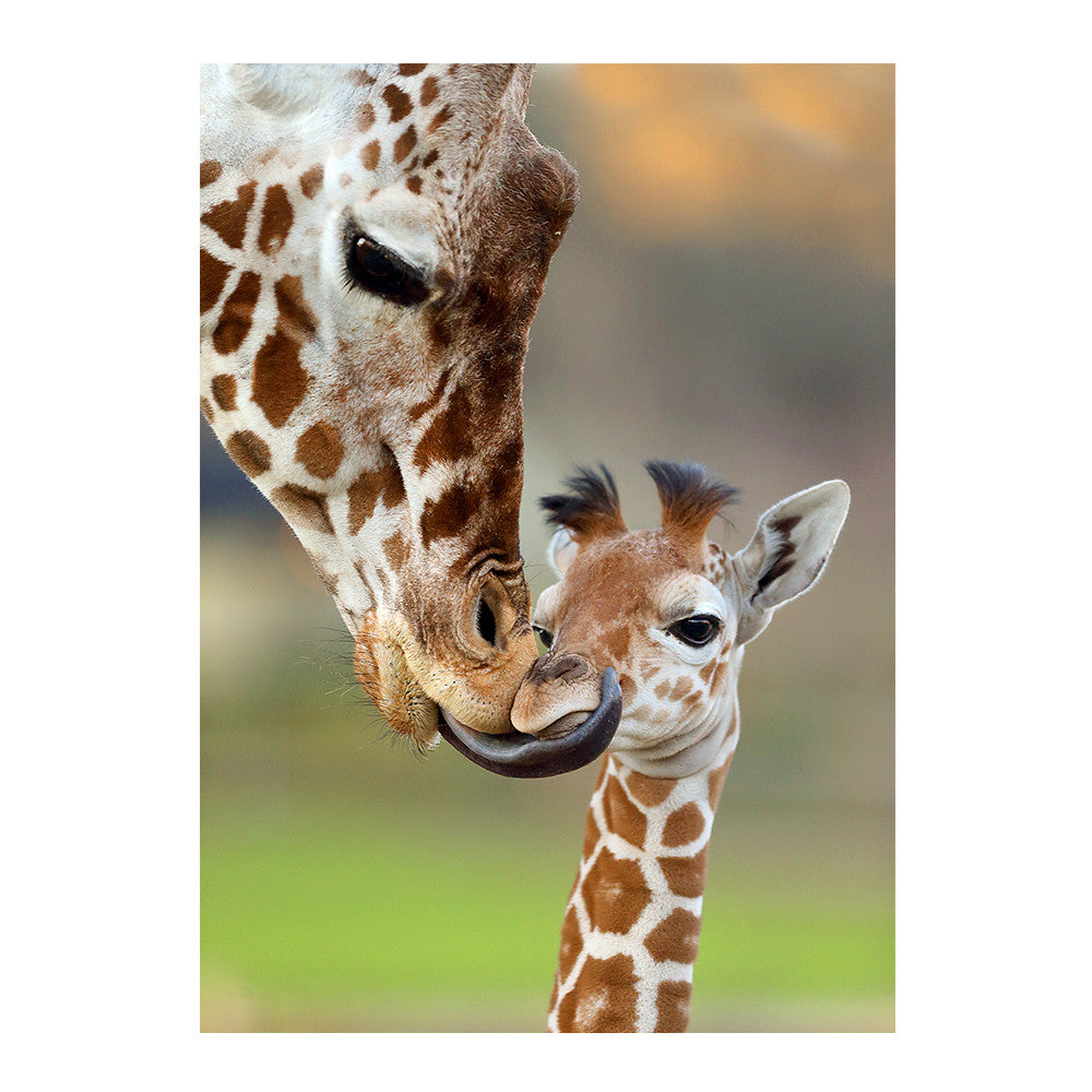 Baby Giraffe and Mom at Safari West