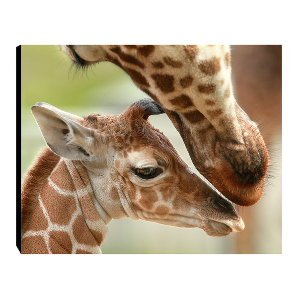 Baby Giraffe at Safari West