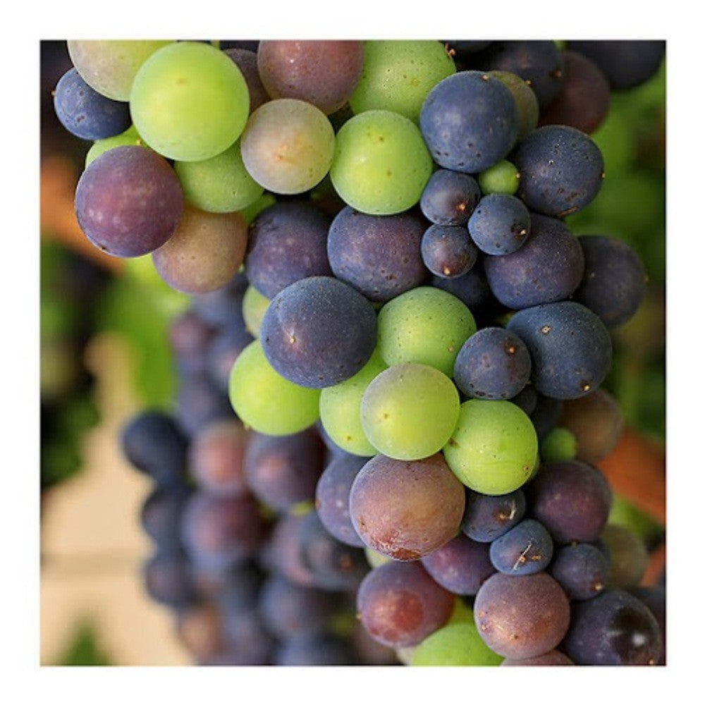 Grapes Ripening at Rodney Strong Vineyard