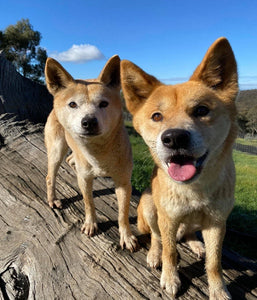 let's hear it for the australian dingo foundation