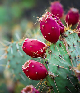 nopal cactus, hydrating magic for your skin.