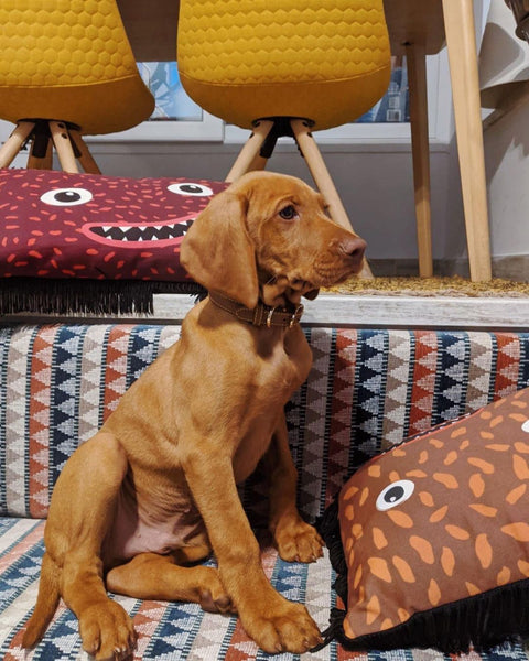 dog and cushions my friend paco