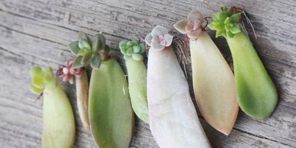 Succulents Pruning Propagation Look Out For A Giveaway Below