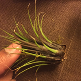Overwatered air plant