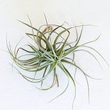 Underwatered air plant