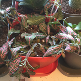 Underwatered fittonia