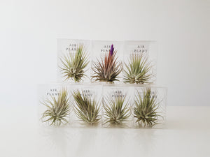 Air Plant - FAYY Terrarium & Gifts